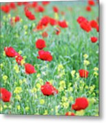 Poppy Flowers Meadow Spring Season Metal Print