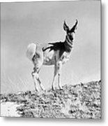 Prong-horn Antelope Metal Print