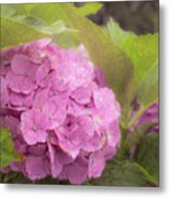 Purple Hydrangea At Rainy Garden In June, Japan Metal Print