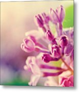 Purple Spring Lilac Flowers Blooming Close-up Metal Print