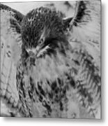 Red-tailed Hawk In Snow Metal Print