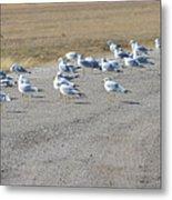 Ring Billed Gulls  Metal Print