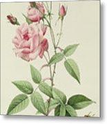 Rosa Indica Vulgaris Metal Print