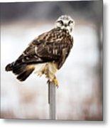 Rough-legged Hawk Metal Print
