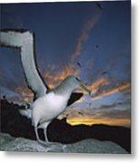 Salvins Albatross At Sunset Metal Print