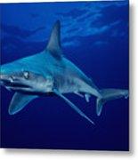 Sandbar Shark Metal Print