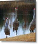 Sandhill Crane Family By Pond Metal Print