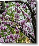 Saucer Magnolias In Central Park Metal Print