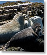 Sea Lions At Sea Lion Cove State Marine Conservation Area Metal Print