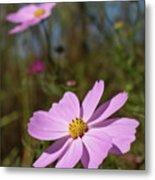 Sensation Cosmos Bipinnatus Fully Bloomed Pink Cosmos At Garde Metal Print