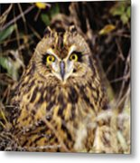 Short-eared Owl Metal Print