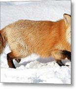 Sneaky Red Fox Metal Print