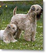 Soft-coated Wheaten Terriers Metal Print