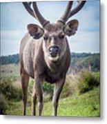 Sri Lankan Sambar Deer Male Metal Print
