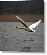 Swan During Take Off Metal Print