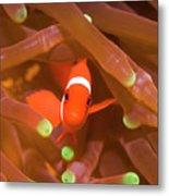 Tropical Fish Clownfish Metal Print