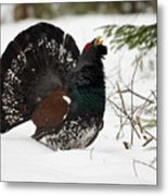 Western Capercaillie Metal Print