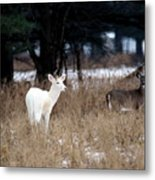 White Buck Brown Doe Metal Print