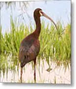 White Faced Ibis Metal Print