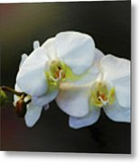 White Orchid - Doritaenopsis Orchid Metal Print