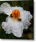 White Poppy And Bee Metal Print