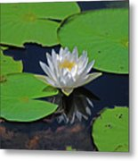 2- White Water Lily Metal Print