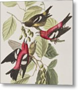 White-winged Crossbill Metal Print
