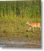 Whitetail Metal Print