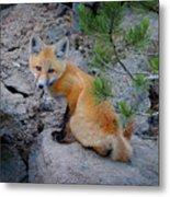 Wild Fox Near Den In Wilderness Animals Metal Print