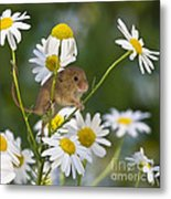 Young Eurasian Harvest Mouse Metal Print
