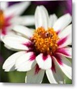 Zinnia Named Zahara Starlight Rose Metal Print
