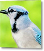 Blue Jay, Animal Portrait Metal Print