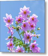Fully Bloomed Pink Dahlia Imperialis At Garden In November Metal Print