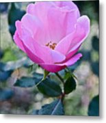 2015 After The Frost At The Garden Pink  Rose Metal Print