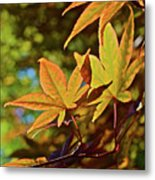 2016 Japanese Maple In The Sunlight Metal Print