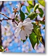 2016 Olbrich Cherry Blossoms 2 Metal Print