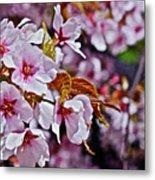 2017 Earthday Olbrich Gardens Fuji Cherry 1 Metal Print