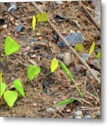 21 Yellow Butterflies Metal Print