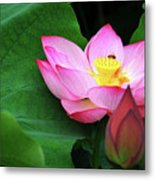 Blossoming Lotus Flower Closeup Metal Print