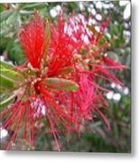 Australia - Red Flower Of The Callistemon Metal Print