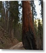 Giant Sequoia Trees Metal Print