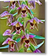 Helleborine On North Country Trail In Pictured Rocks National Lakeshore-michigan  Metal Print