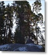 Giant Sequoia Trees Metal Print