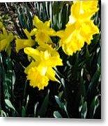 A Daffodil Exhibit Metal Print