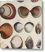 Aquatic Animals - Seafood - Shells - Mussels Metal Print