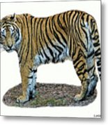 Asian Tiger Metal Print