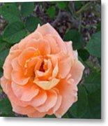 Australia - Orange Rose Flower Metal Print