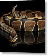 Ball Or Royal Python Snake On Isolated Black Background Metal Print