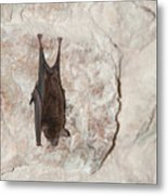 Bats Inside The Pyramid At Grupo Nohoch Mul At The Coba Ruins  Metal Print