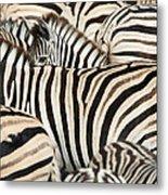 Burchells Zebras Equus Quagga Metal Print
